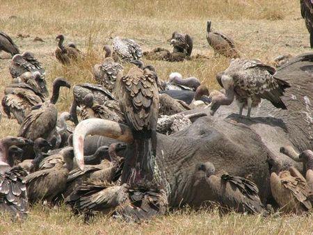 642718-Vultures-eating-Elephant--Buitres-comiendo-Elefante-0