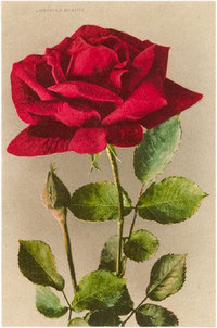 American_beauty_rose