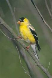 Njgoldfinch